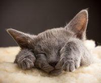 Firma Hodowla zwierząt domowych - koty rosyjskie niebieskie - Psy Samoyed Joanna Buśko